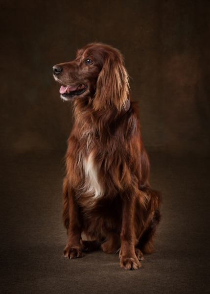 Red setter dog pet studio portraits Ni Riain Photography Tipperary ireland